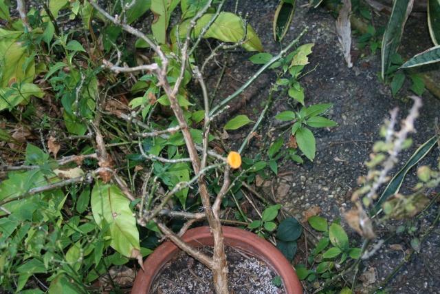 Un fruit sur mon Pereskia bleo Peresk11
