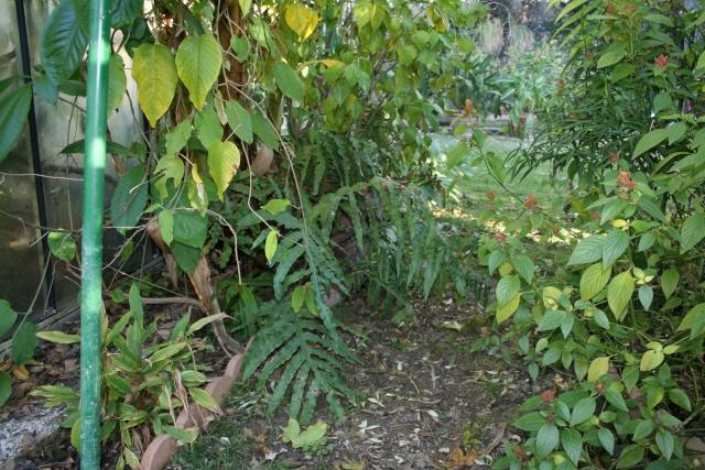 Phlebodium decumanum, ce matin Phlebo10
