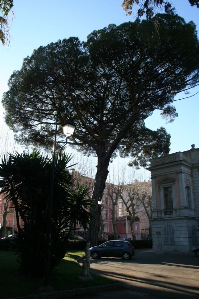 Semer des graines de pin parasol? Pinus_10