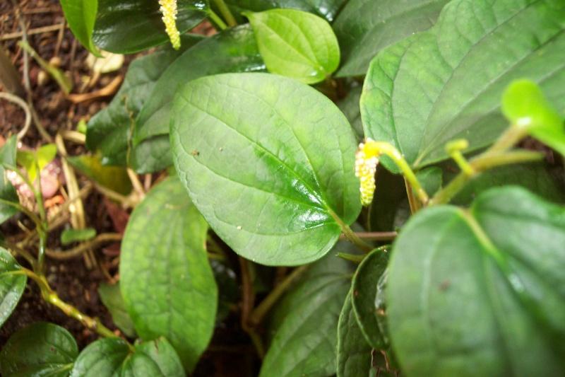 Petite plante à identifié [Peperomia obtusifolia] Piper_10
