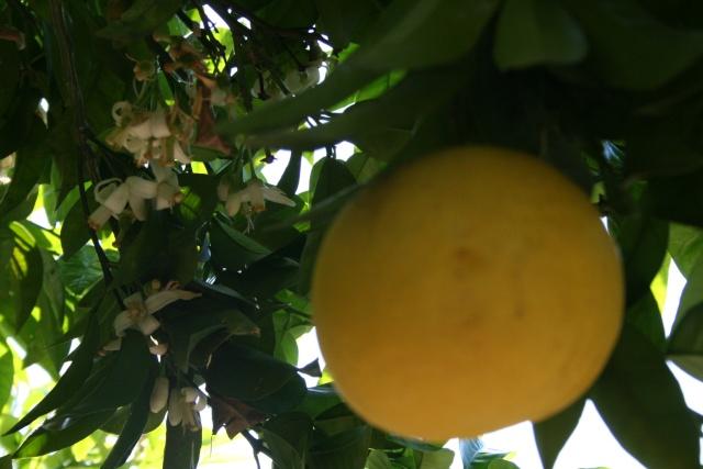 Splendeurs de mon jardin de la mi avril Pomelo10
