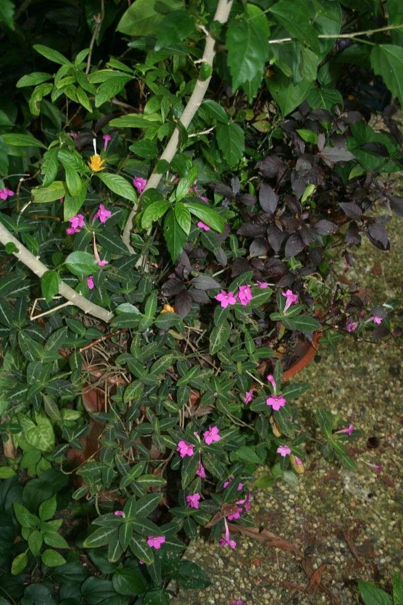 Quelques photos de plantes en fleurs en ce moment Ruelli14
