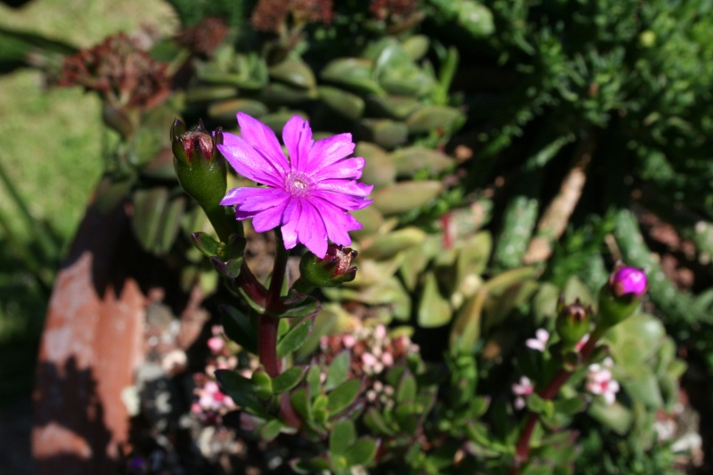 Ruschia langebaanensis en fleurs Ruschi12