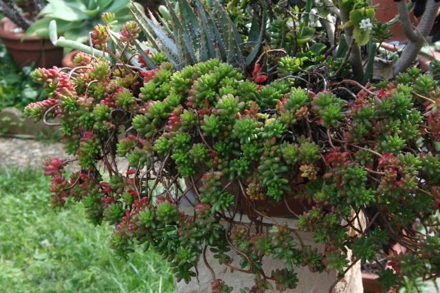 Identification d'une succulente Sedum_10