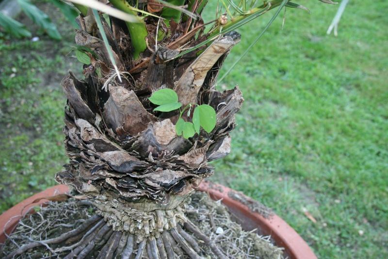 Bauhinia variegata,l'arbre aux Orchidées, premières fleurs Semis_10