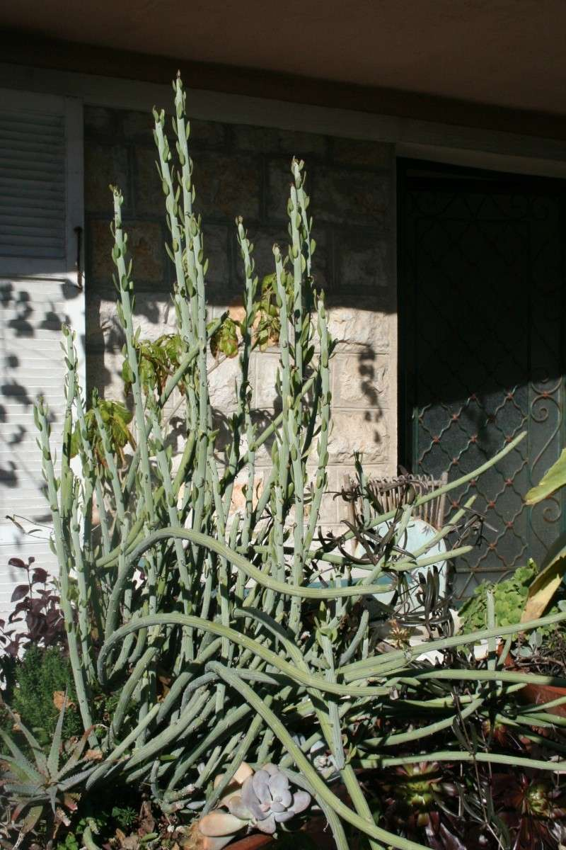 Senecio anteuphorbium, enfin des fleurs Seneci37