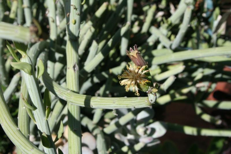 Senecio anteuphorbium, enfin des fleurs Seneci38