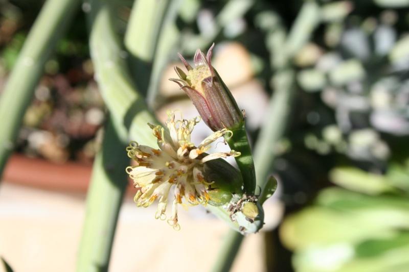 Senecio anteuphorbium, enfin des fleurs Seneci39