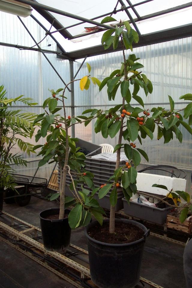 Ficus drupacea Serres11