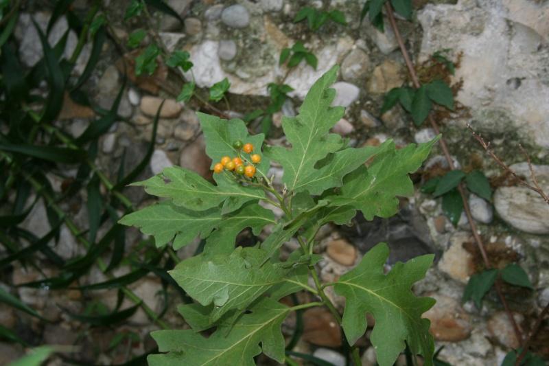Les Solanums Solanu15