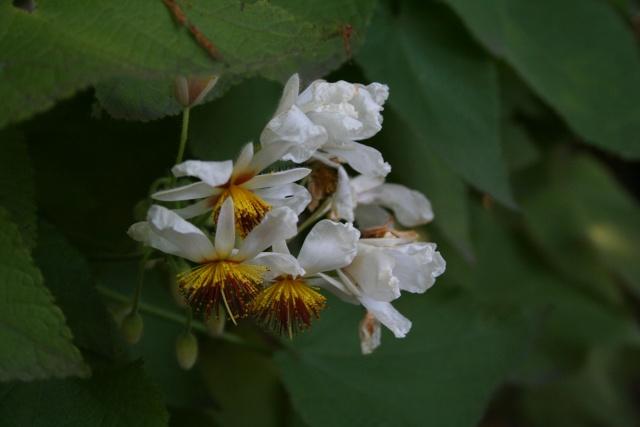 Sparmania africana, le tilleul d'appartement Sparma10