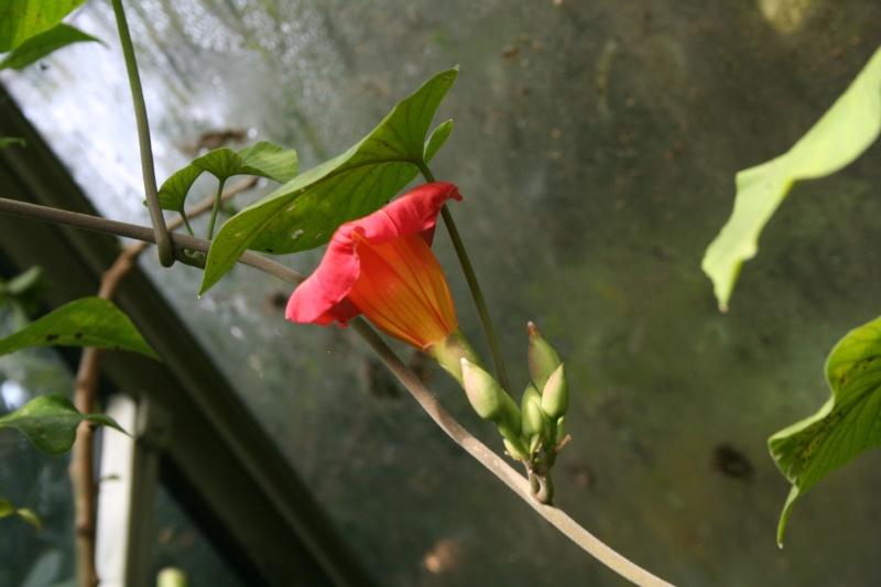 Stictocardia beravienis, superbe Ipomée Sticto10