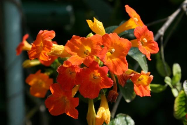 Splendeurs de mon jardin de la mi avril Strept10