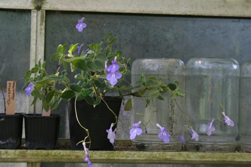 Ca commence, quelques fleurs à voir Strept16