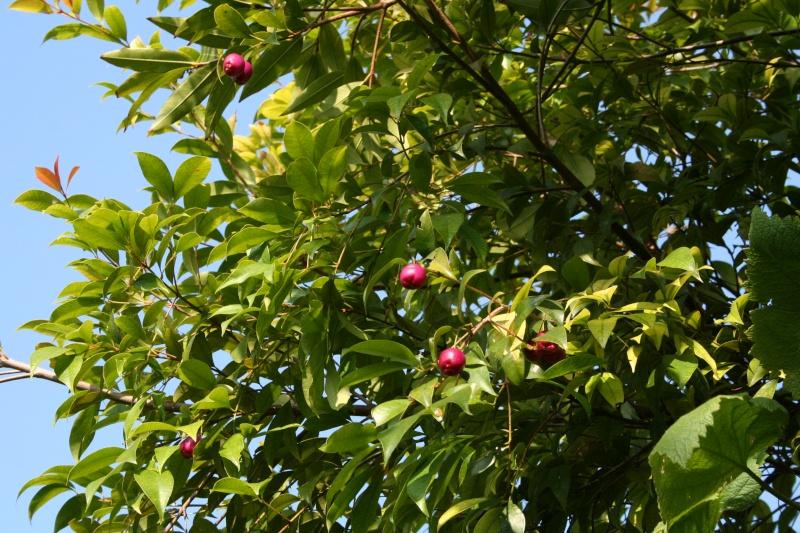 Syzygium paniculatum, le cerisier d'Australie, nouvelles feuilles Syzygi11