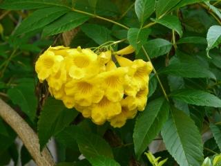 Tabebuia caraiba , Tabebuia argentea Tecoma10
