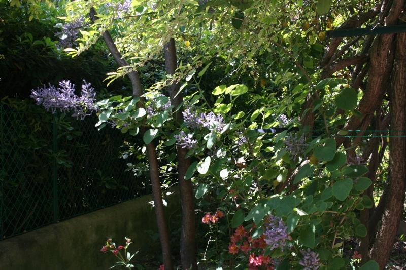 Tetradenia riparia, le faux Patchouli, en fleurs Tetrad13