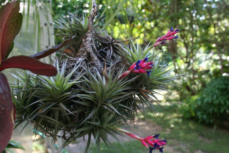 Tillandsia bergeri en fleurs Tillan13