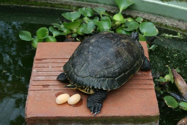 Surprise chez mes tortues de Floride Tortue10