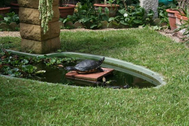 Surprise chez mes tortues de Floride Tortue11