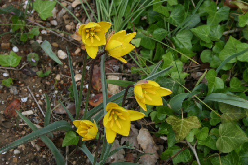 Deux cousines Tulipa10