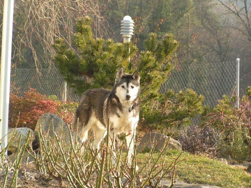 hommage au vieux loups Chiens10