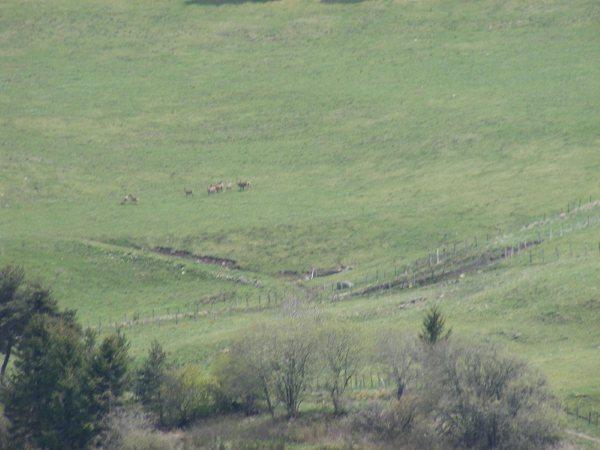 Le cézallier en Mai Dscf1115