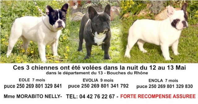 Vol de 3 jeunes femelles Bouledogues Françaises dept13 Nelly110