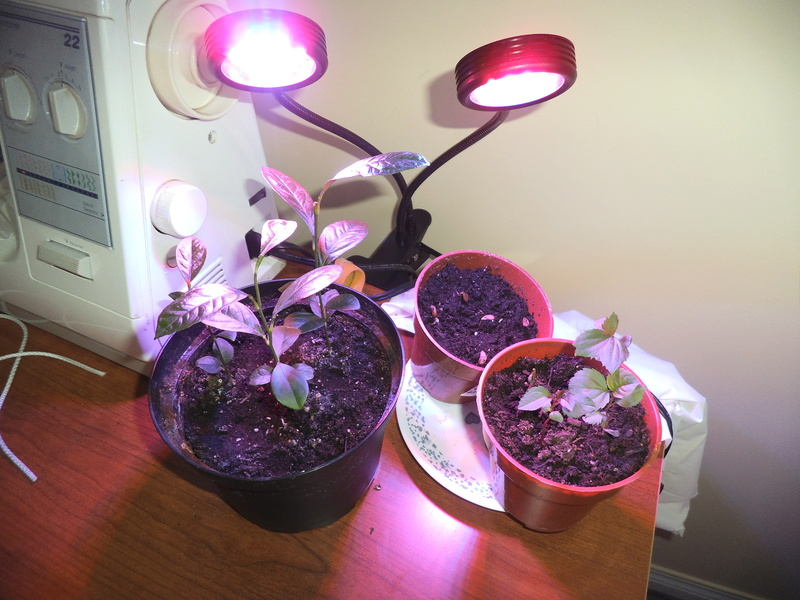 lampes LED rouges et bleu pour les semis? Dscf2420