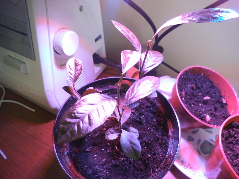 lampes LED rouges et bleu pour les semis? Dscf2421