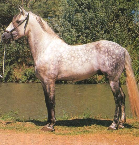 Quelle espèce de cheval? Andalo10