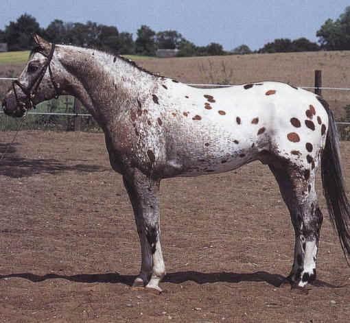 Cheval mais lequel Kna0210