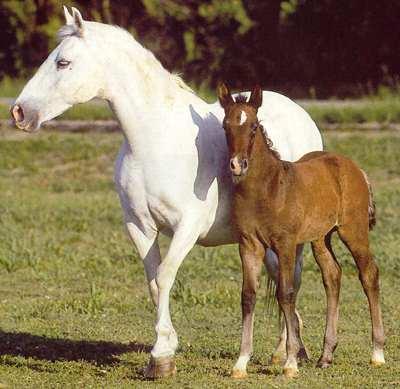 Quelle espèce de cheval? Lipizz10