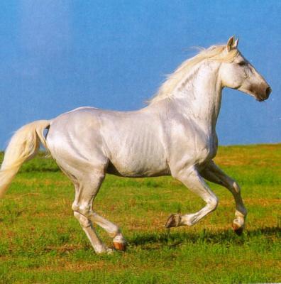 Quelle espèce de cheval? Lusita10