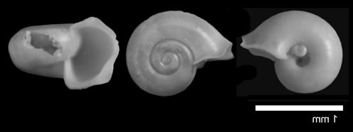 [résolu]Limacina mercinensis (WATELET & LEFEVRE, 1880) Rotati10