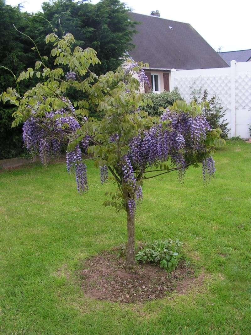 ma glycine arbre héhéhéhéhé - Page 2 Foto_010