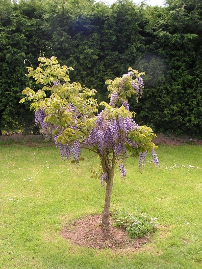 ma glycine arbre héhéhéhéhé Foto_011