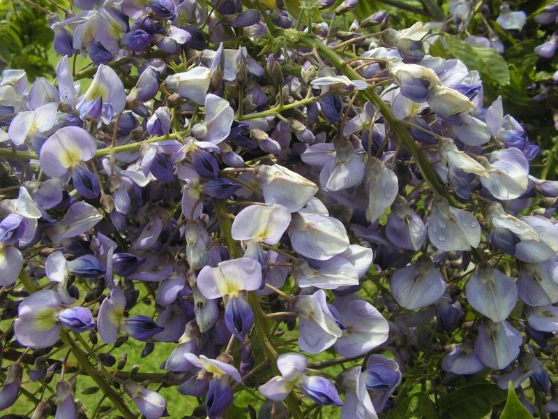 ma glycine arbre héhéhéhéhé Foto_012