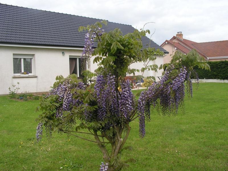 ma glycine arbre héhéhéhéhé Foto_013