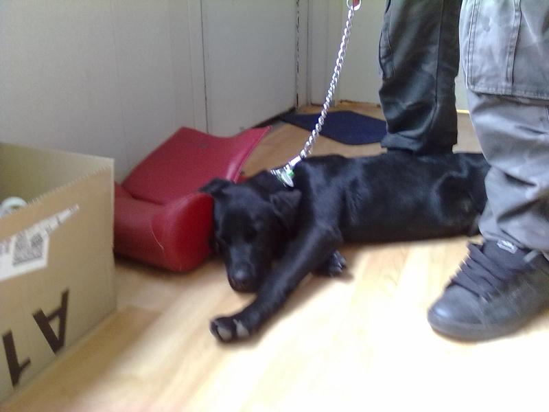 Diego, 2 ans, labrador noir, puce : 250269500347382 SPA de Gien (45) 08052011