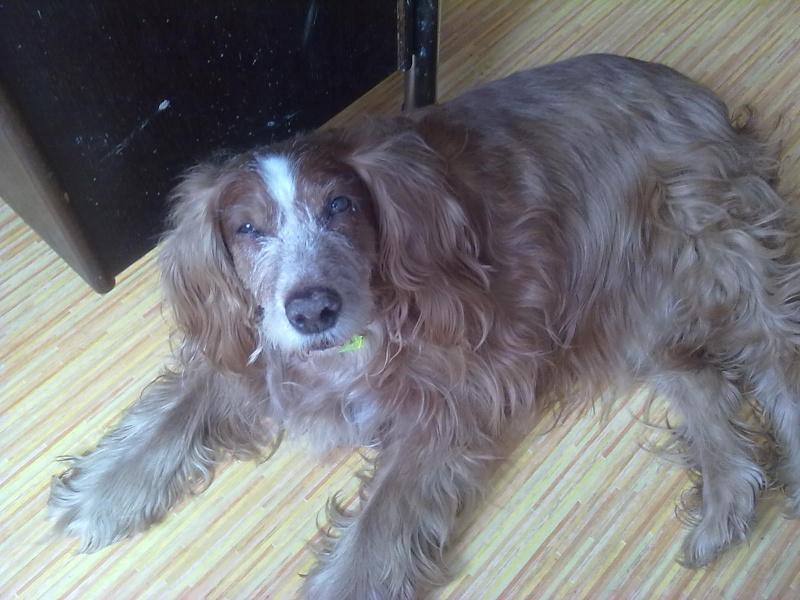 Nicky, croisé épagneul, 12 ans dans son nouveau foyer... 11032010