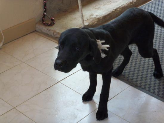 Diego, 2 ans, labrador noir, puce : 250269500347382 SPA de Gien (45) 311