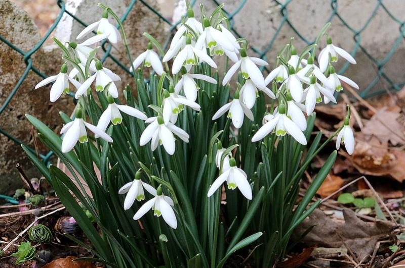 En l'absence d'orchidées, certains Galanthus Img_2110