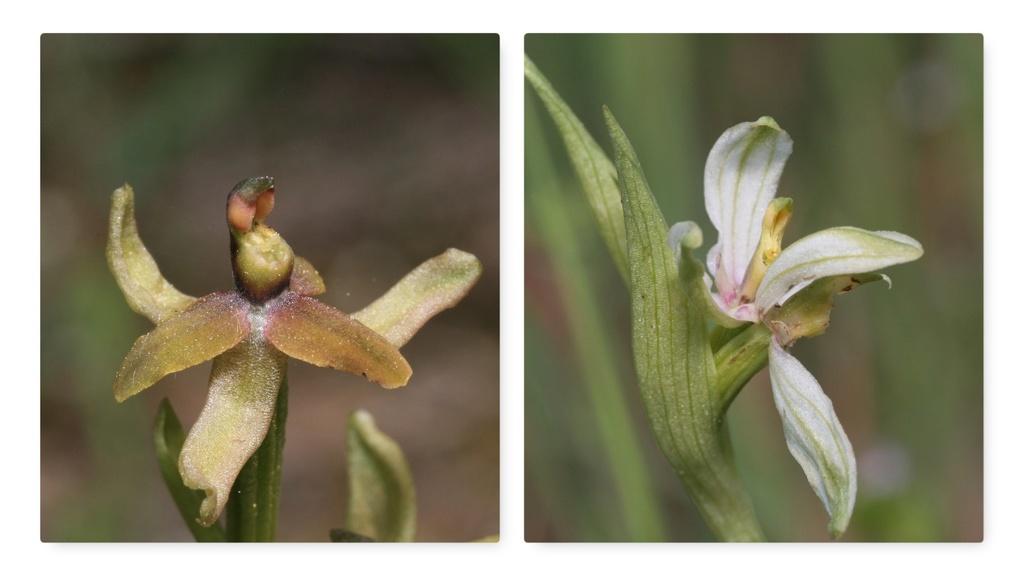 Nouvelle variété d'Ophrys apifera Lusus10