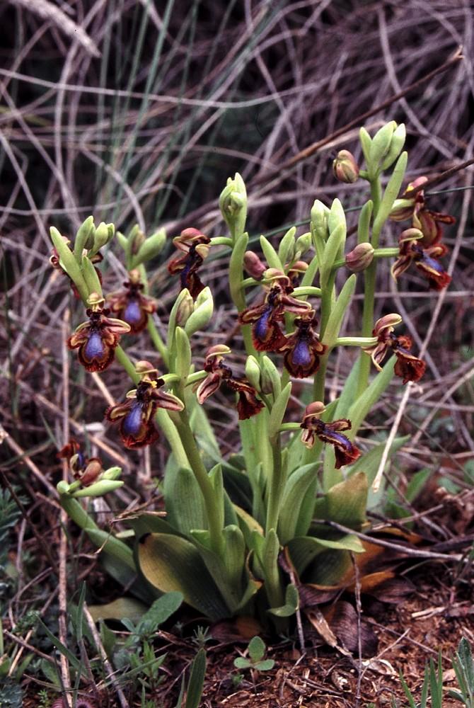 Ophrys miroir histoire de speculer un peu...) Ophrys10