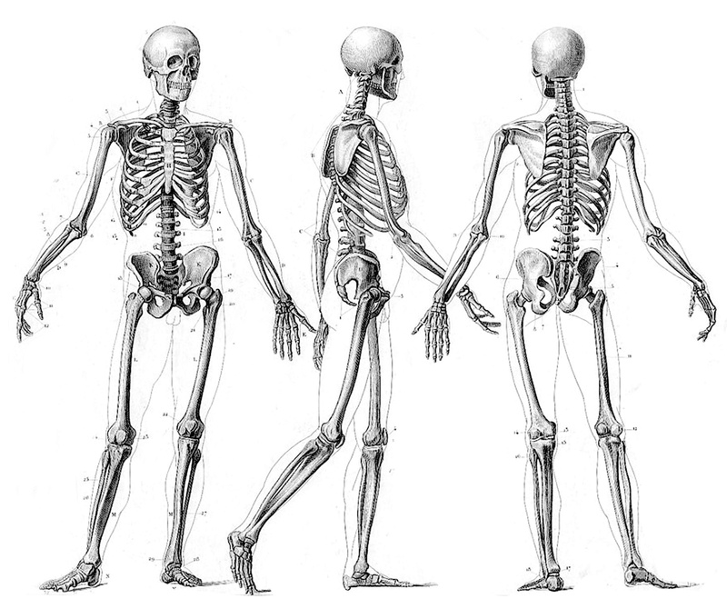 Le squelette humain 1_idnk10