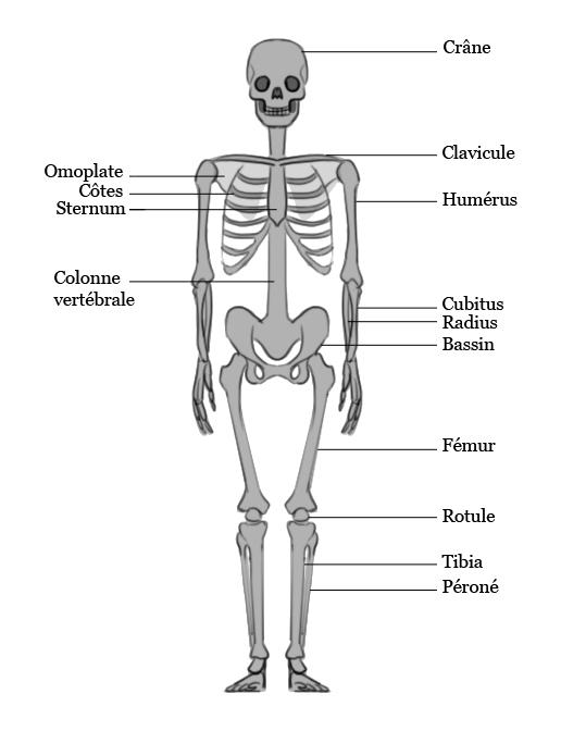 Le squelette humain Anat8_10