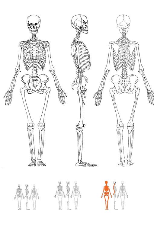 Le squelette humain Squele10