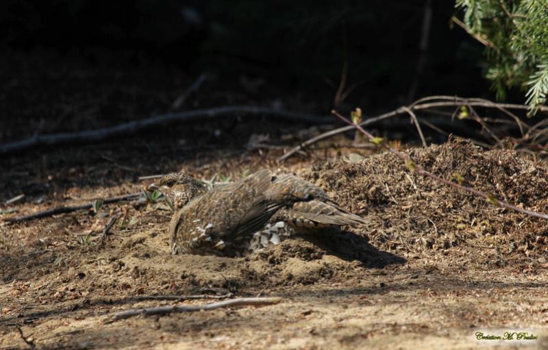 Gélinotte huppée ou tétras du Canada femelle Img_8311