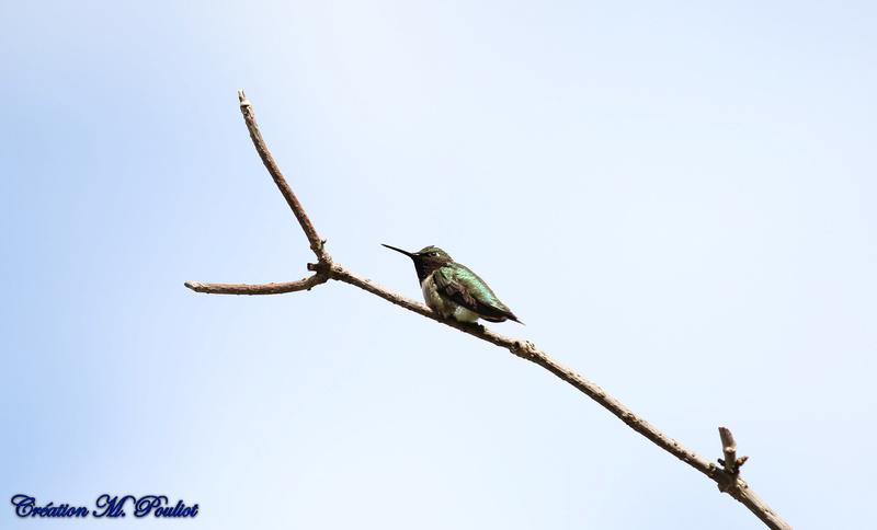 Mon premier colibri de l'année Img_8711